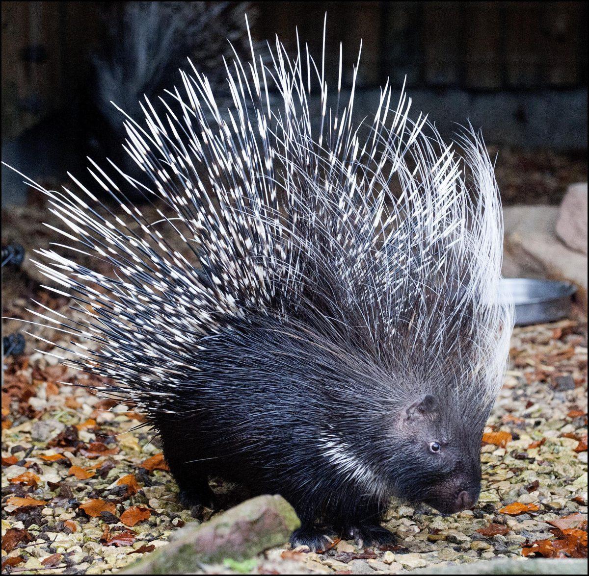 Porcupine ( South African / Cape Porcupine) - Dudley ...