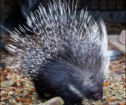 Porcupine ( South African / Cape Porcupine)