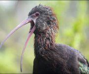 Ibis (Puna)
