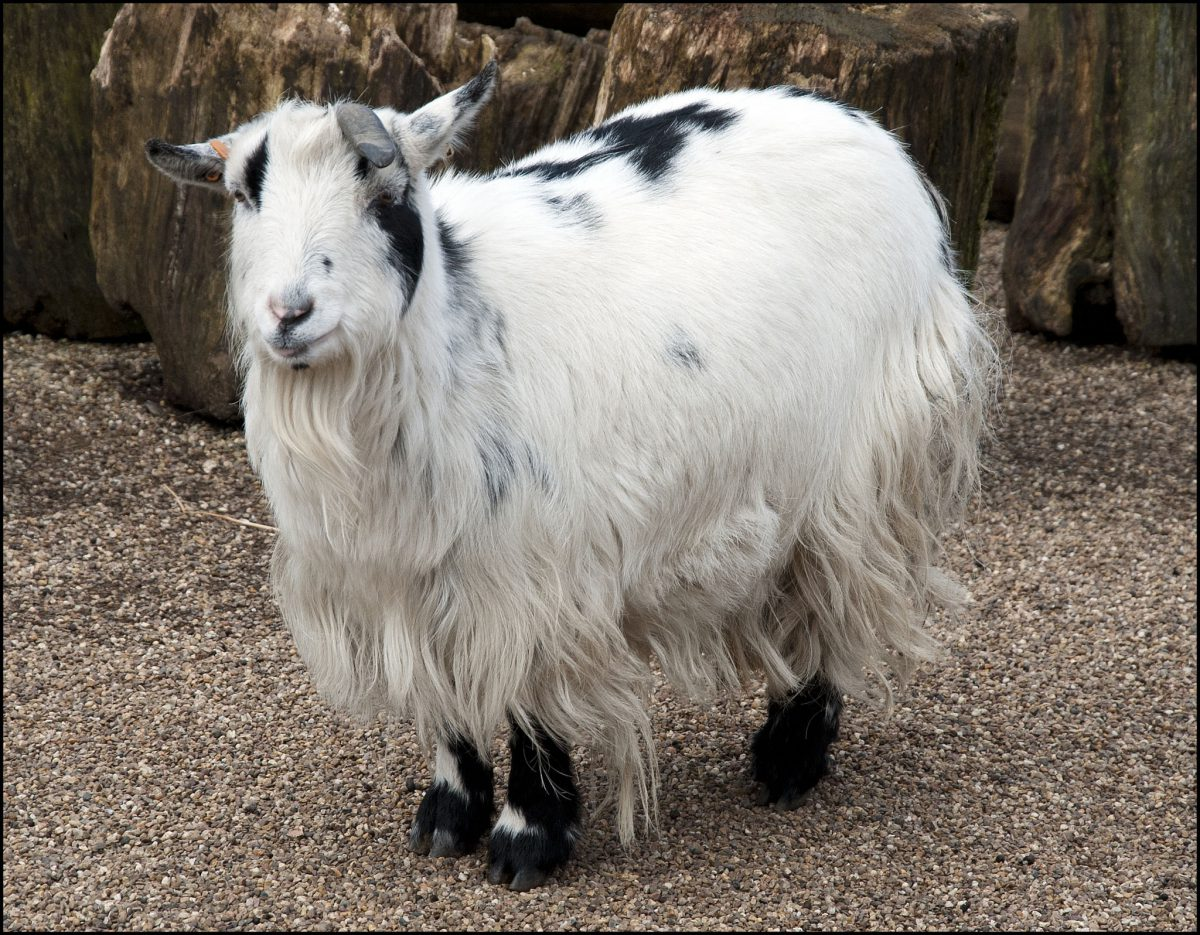 Goat African Pygmy Dudley Zoological Gardens