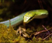 Ratsnake (Red-tailed green ratsnake)