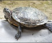 Terrapin (Red-eared)