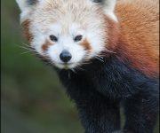 Panda (Red)