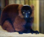 Lemur (Red-Ruffed)
