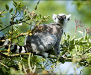 Lemur (Ring-tailed)