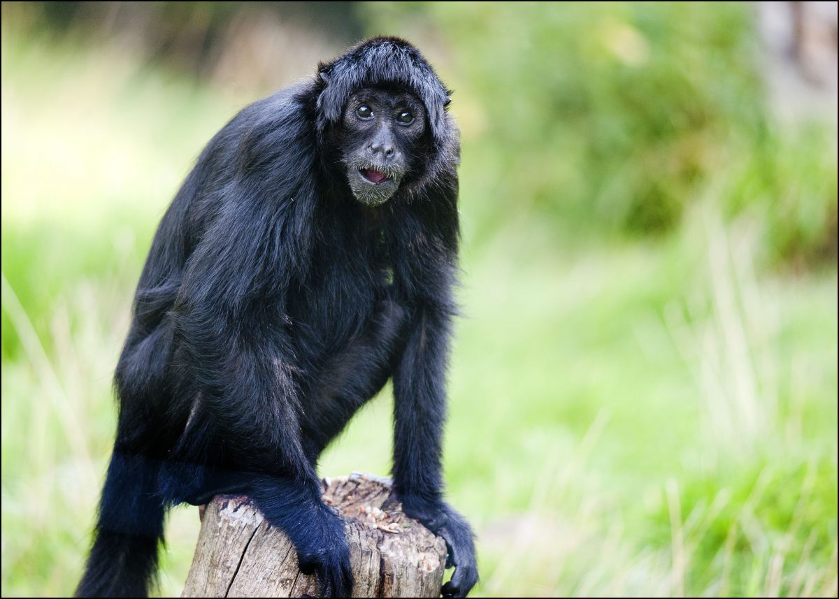 Spider Monkey Colombian Black Dudley Zoological Gardens