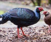 Pheasant (Vietnamese)