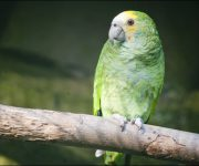 Amazon (Yellow-shouldered)