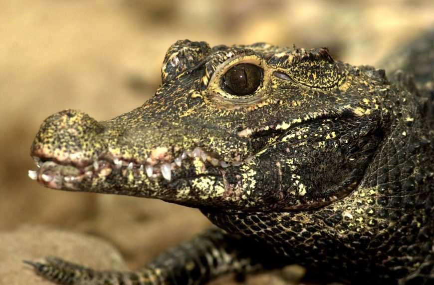 dwarf-crocodile-photo