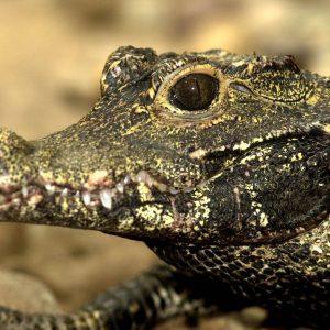Dwarf Crocodile Photo