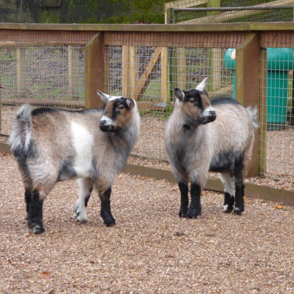 Pygmy Goats Daffy & Dilly
