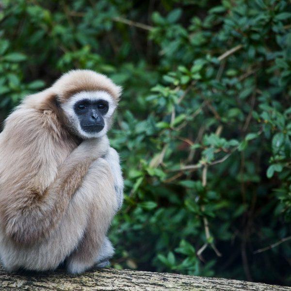 Gibbon Huggy Photo