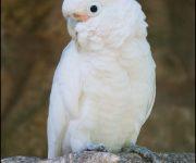Cockatoo (Goffin's)
