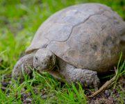 Tortoise (Hermann's Tortoise)