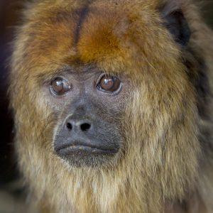 Howler Monkey - 19-09-2017 (1)