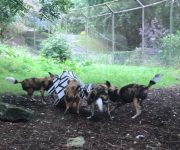 Zebra sends dogs wild!