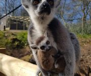 Loving the lemurs!