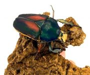 Giant flower beetles emerge
