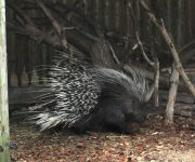 Percy porcupine arrives