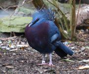 Pigeon (Victoria crowned)