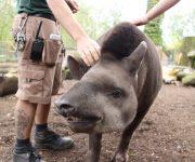 Talking tapirs