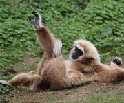 Lar gibbon limbers up!