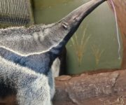 All about anteaters!