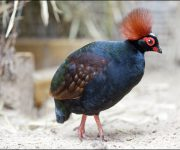 Partridge (Roul Roul)
