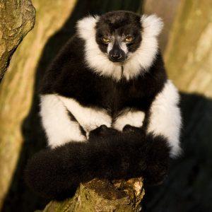 Lemur Black & White Zeb Photo