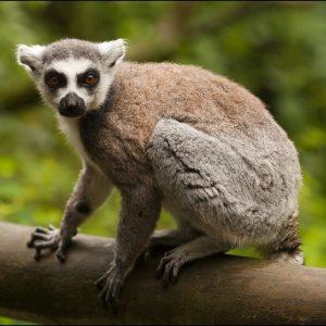 Lemur Ring Tailed Frank