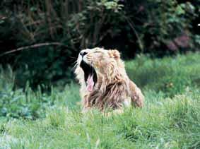 hunting-dog-yawn
