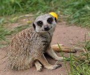 Meerkat move