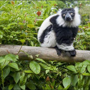 Monkey Black & White Lemur Yoda NEW