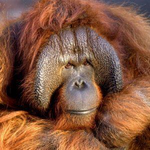 Orangutan Benji Photo