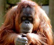 Orangutan appeal area