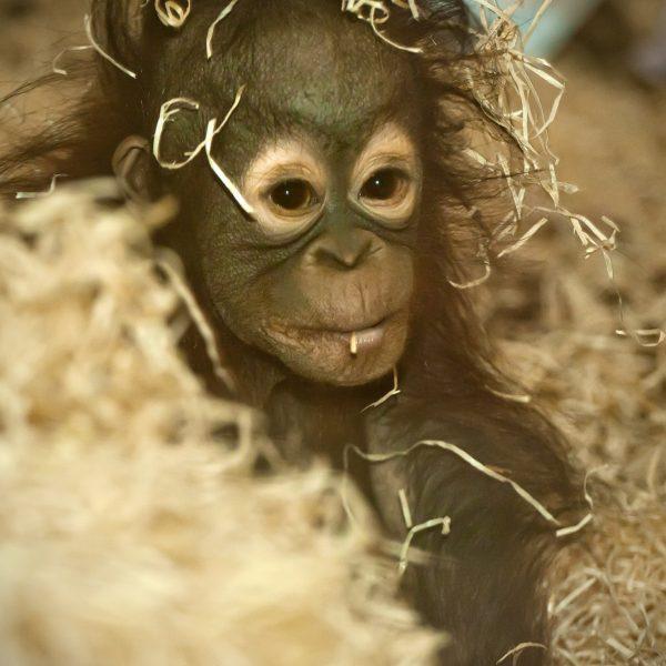 Orangutan Sprout 2
