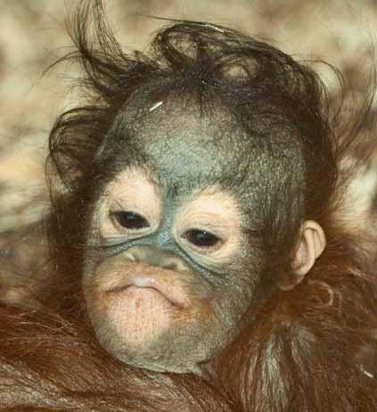 Orangutan-Sprout-7web