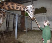 Giraffes put through paces