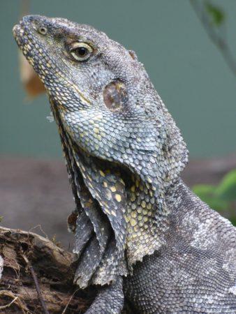 frilled lizard 2