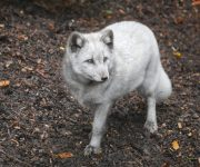 Arctic foxes arrive!