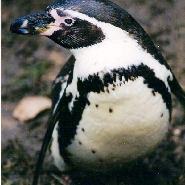Penguin Arkwright Photo