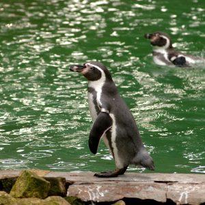 Penguin Ronnie Photo