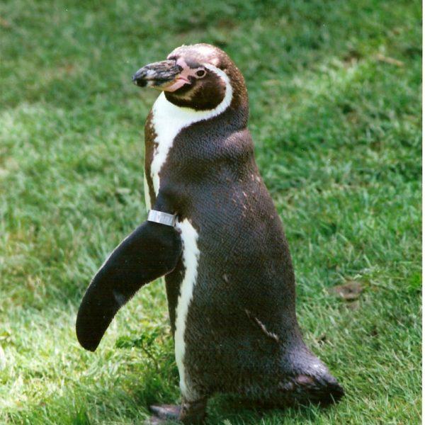 Penguin Waddle Photo