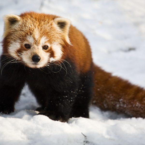Red Panda Yasmin Photo