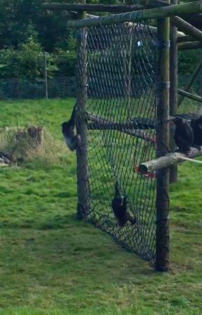 DZG chimps net