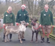 Reindeer learn the ropes!