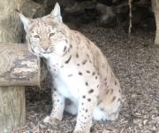 The lynx effect!
