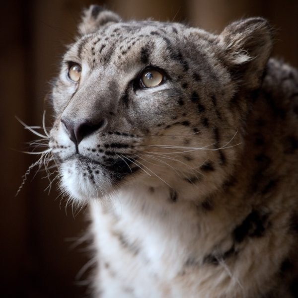 Snow Leopard Margaash