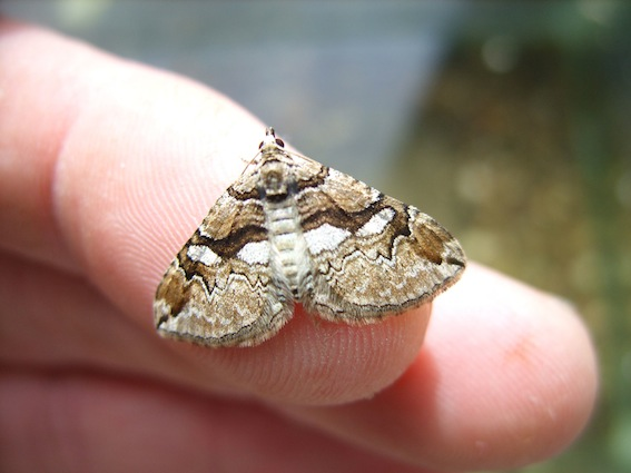 adult_bc_moth_on_finger