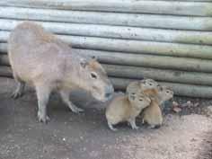 Four capybaras born
